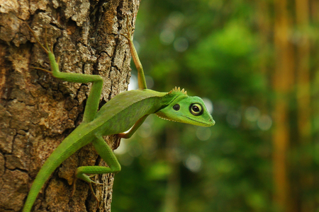 A Chinese water dragon (Physignathus Cocincinus), a Borneo green lizard on a tree trunk