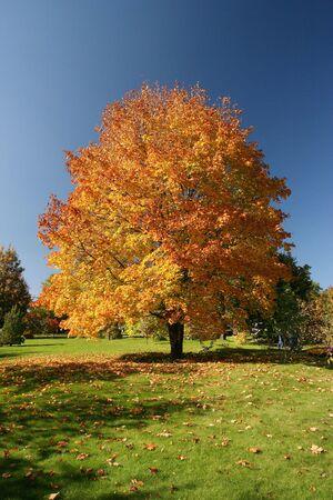 Maple tree in beautiful autumn colours Stock Photo