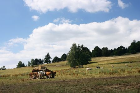 Czech countryside with grazing cows.