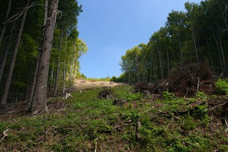 Clearing in a forest with stumps and dead branches Stock Photo