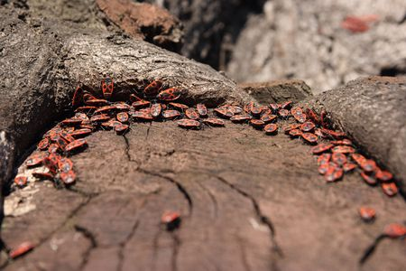 Group of fire bugs on a tree