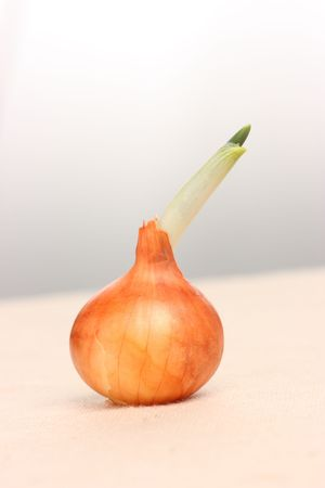 Detail of sprouting onion