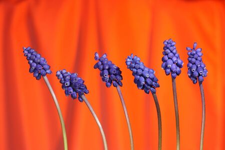 Several grape hyacinthes on red background Stock Photo - 3017617