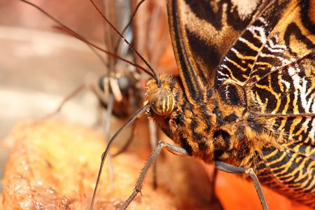 Detail of colorful butterfly feeding on fruit Stock Photo