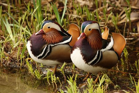 Pair of colourful ducks on a ponds shore