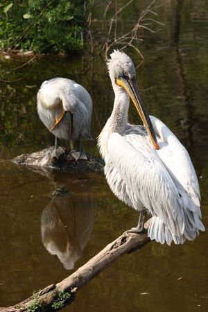 Two pelicans by a pond preening their feathers
