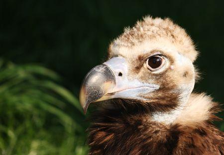 Close up of eagle head