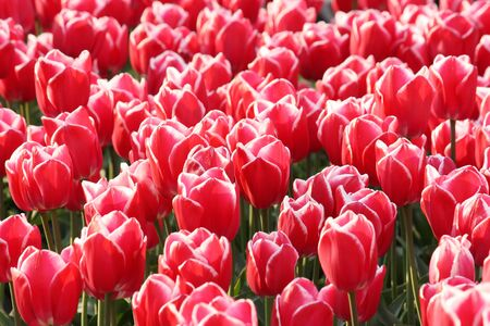 Background with many red tulips