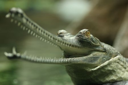 Gavial (Indian gharial) with its jaws wide open Stock Photo