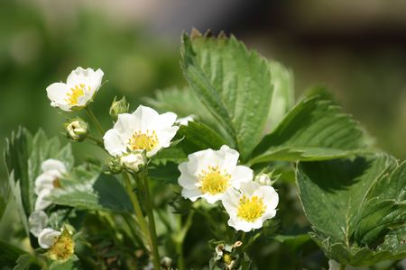 Strawbery plant with several blossoms Stock Photo - 3038044