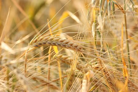 Rural background: close-up of ripe barley plants ready for harvest
