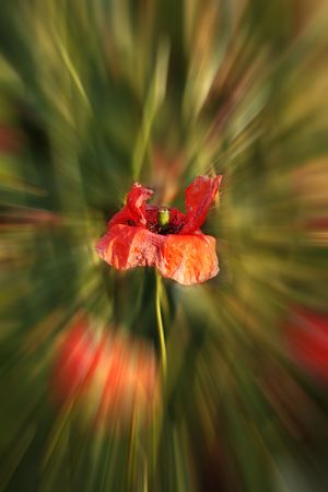 Detail of selectively zoomed out corn poppy blossom