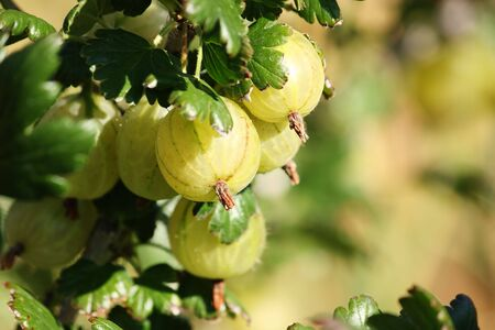Close-up of a branch with several gooseberry fruits