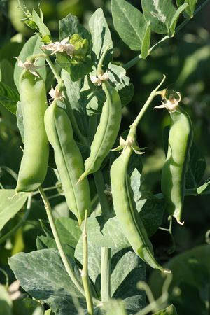 Detail of green pea plant with several husks