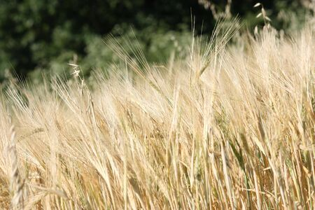 Rural background: ripe barley spikes ready for harvest Stock Photo