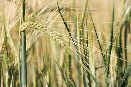 Rural background: close-up of unripe barley plants in the field