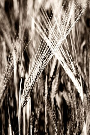 Rural background: Monochrome close-up of ripe barley spikes Stock Photo