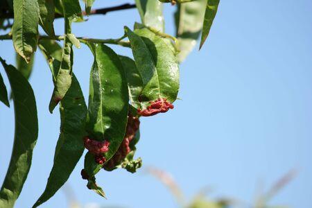 Detail of peach leaves with leaf curl (Taphrina deformans) disease