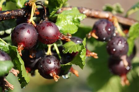 Detail of branch of unripe black currant berries