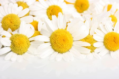 Group of chamomile blossoms on white reflective background Stock Photo
