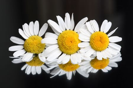Group of fresh chamomile blossoms on black reflective background