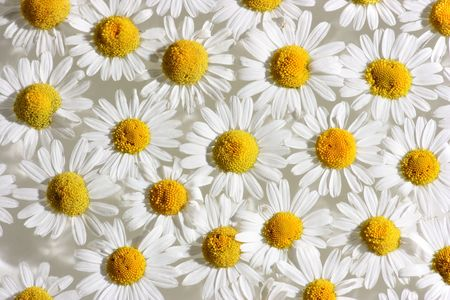 Many fresh chamomile blossoms floating on water surface