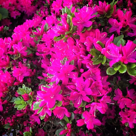 shrubbery: Pink Flowers in a shrubbery in the garden Stock Photo