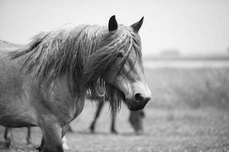 Belgian horse in a grass field in Black and White Stock Photo