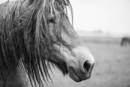 horizontals: Belgian horse in a grass field in Black and White Stock Photo