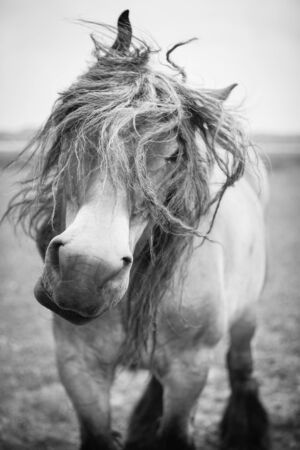verticals: Belgian horse in a grass field in Black and White Stock Photo