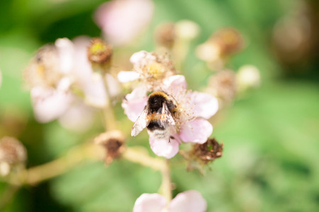 dawns: Bumble bee on a pink flower Stock Photo