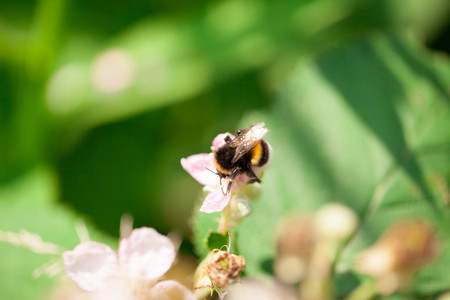 horizontals: Bumble bee on a pink flower Stock Photo