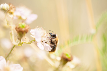 horizontals: Honey bee harvesting nectar from a flower