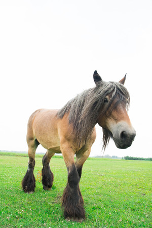 Belgian wild horse in a grass field