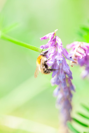 verticals: Honey bee harvesting nectar from a flower
