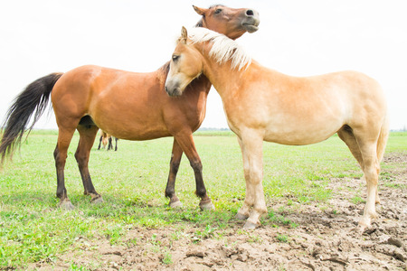 European horses in the wild Stock Photo