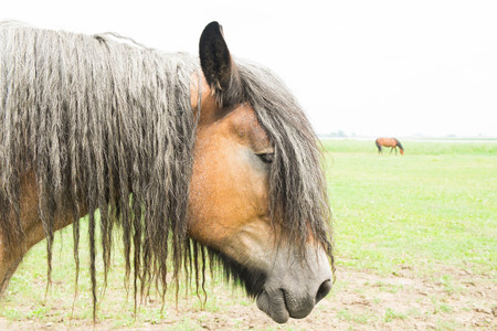 belgian horse: European horse in the wild