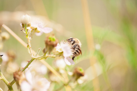 dawns: Bee on a flower Stock Photo