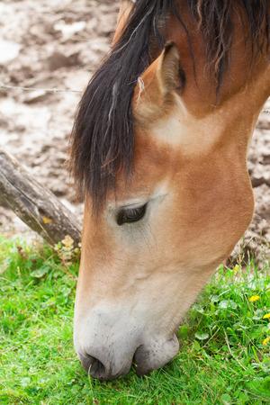 European horse in the wild