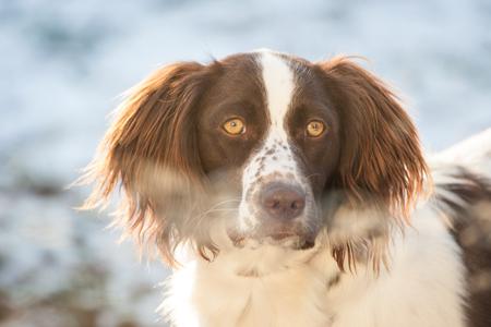 Munsterlander dog portrait, while watching inside through a window Stock Photo