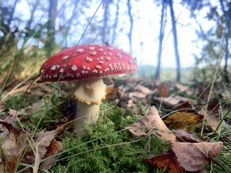 Red fly agaric mushroom or toadstool in the grass latin name is amanita muscaria toxic mushroom Stock Photo