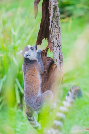 A photo in a vertical composition of a ringtailed lemur climbing a tree