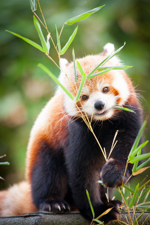 Beautiful Red panda or lesser panda, sitting between the trees, feeding from the green bamboo leaves. Red panda bear, Ailurus fulgens, in his natural habitat.