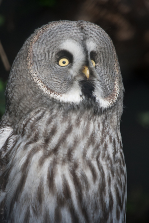 The Great Grey Owl or Lapland Owl, Strix nebulosa, on a natural forest background