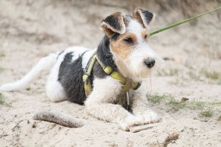 Cute fox terrier dog on a leash laying on the ground in the sand