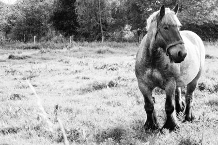 Monochrome image of a Belgian Brabant draft horse in a meadow