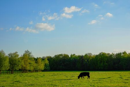 Cattle or cow grazing in a meadow or farmfield