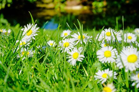 Common daisy, English daisy, Bellis perennis, herbaceous perennial is a common European species of daisy