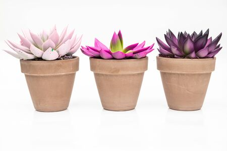 Various colorful succulent echeveria house plants in stone pots on white background
