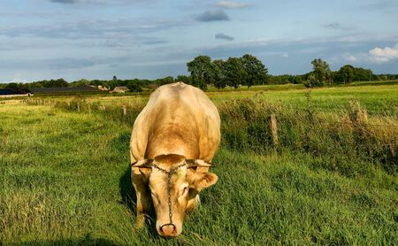 Huge pedigree limosine bull cow grazing in the sun on a summer meadow